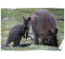 Wallaby and joey, Cradle Mountain, Tasmania Poster