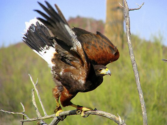 """I'm Free"" Harris Hawk by Sherry Pundt"