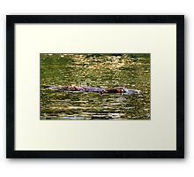 Platypus at surface of creek Framed Print