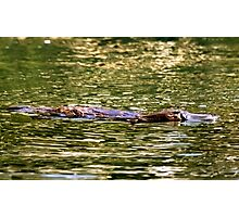 Platypus at surface of creek Photographic Print