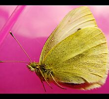 adult cabbage white/yellow butterfly by vampvamp
