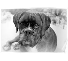 Contemplating My New Years Resolution ~ Boxer Dogs Series Poster