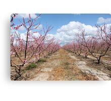 Peach Orchard Canvas Print