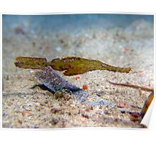 Robust Ghost Pipefish - Philippines Poster