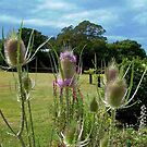 Teasels at Port Arthur by BronReid