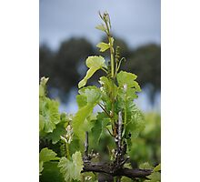 New Growth - Coonawarra, S.A. Photographic Print