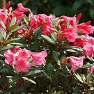 Rhododendron  by achillesvda