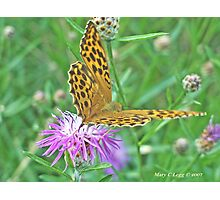 Silver-washed Fritillary, Argynnis paphia Photographic Print