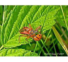 Red Assassin Bug, Rhynocoris iracundus attacks 7spot ladybird Photographic Print