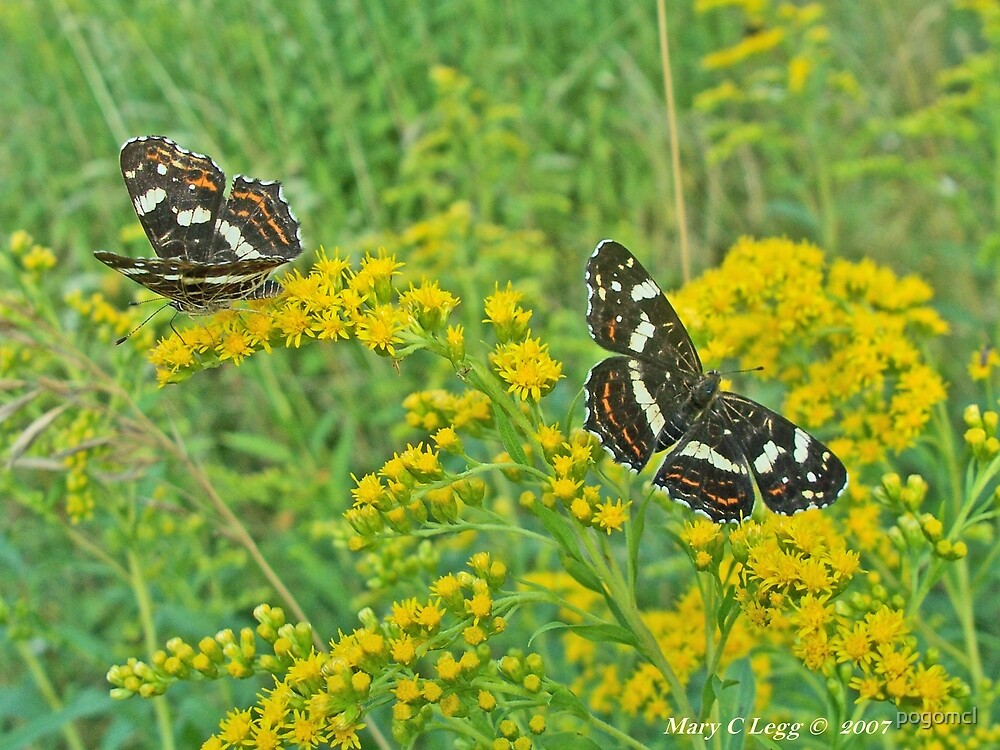 Map butterfly, Araschnia levana by pogomcl