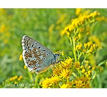 Chalk Hil Blue, Polyommatus coridon Photographic Print