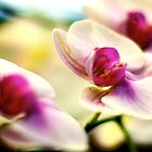 Close-up of Orchids Flower. Pink White. by yiuphotography