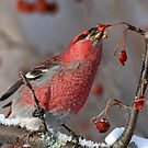 A Taste Of Winter/Pine Grosbeak by Gary Fairhead