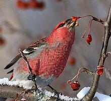 A Taste Of Winter/Pine Grosbeak by Gary Fairhead