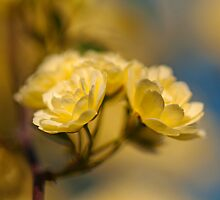 Lady Banksia Roses of Carmel by Bonnie T.  Barry