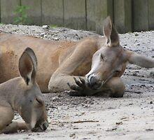 Kangaroos Napping by Lori Hark