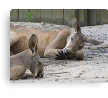 Kangaroos Napping Canvas Print
