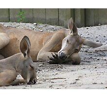 Kangaroos Napping Photographic Print