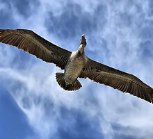 Brown Pelican Flying by Teresa Zieba