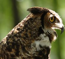 Great Horned Whoo by jimHphoto