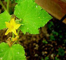 Cucumber Flower by Alan Brazzel