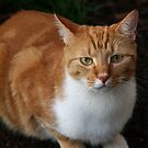 Ginger Cat by Christine Wilson
