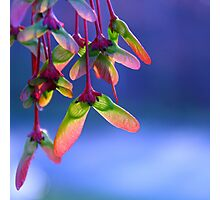 Red Maple Helicopters - Springtime Photographic Print