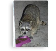 Raccoon's Full Bandito Image Canvas Print