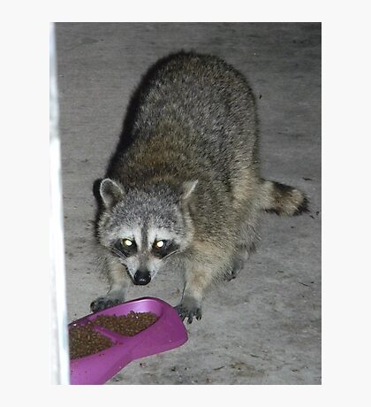 Raccoon's Full Bandito Image Photographic Print