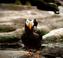 Tufted Puffin by Jodi Morgan