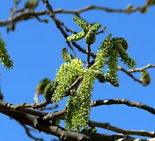 Fruitless Mulberry Tree by Carla Jensen
