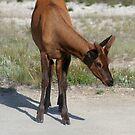 Gorgeous Young Elk, Yellowstone NP by Teresa Zieba