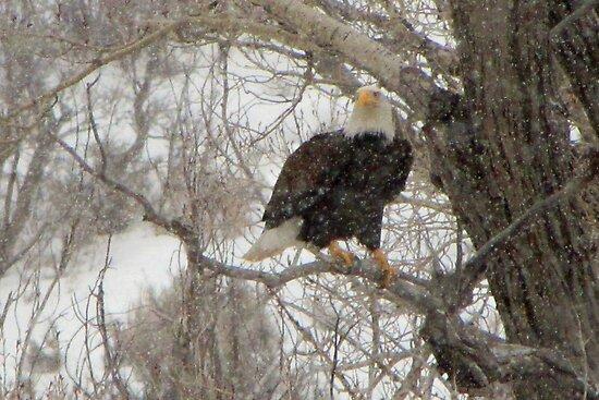 bald eagle  by jeff welton