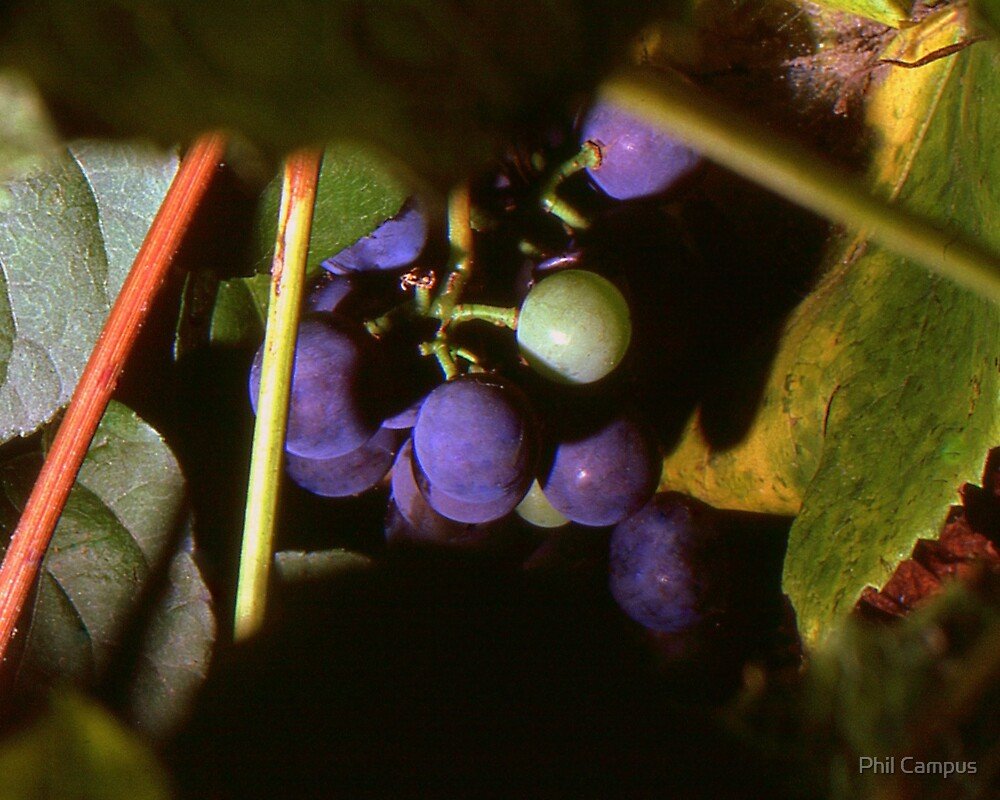 Hidden Grapes by Phil Campus