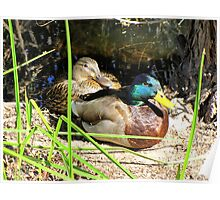 Mallard Ducks ~ Pair Poster