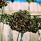 Dried Snowball by Carrie Bonham