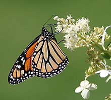 Monarch / Queen Of The Butterflys by Gary Fairhead