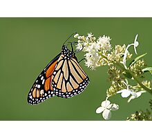 Monarch / Queen Of The Butterflys Photographic Print