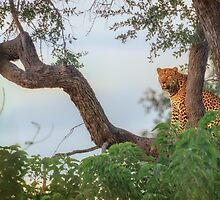 Leopard's Waterside Perch by Owed To Nature