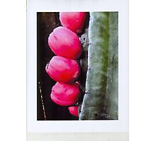 Ripe hip Brust forth and multiply Photographic Print