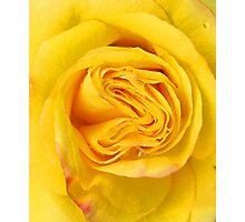 Yellow rose close up Photographic Print