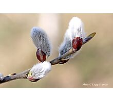 Pussywillow blooms Salix Photographic Print