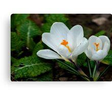 White Crocus  (Spring Bulbs) Canvas Print