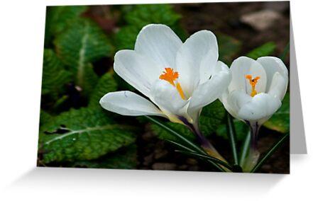 White Crocus  (Spring Bulbs) by Trevor Kersley