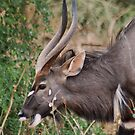NJALA - Tragelaphus angasii - a handsome, striking antelope by Magaret Meintjes