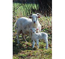 Protective ewe and lamb Photographic Print