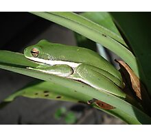 Green Tree Frog Photographic Print