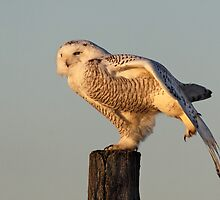 Late Light Arabesque / Snowy Owl by Gary Fairhead