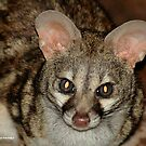 THE LARGE  SPOTTED GENET - Genetta tigrina by Magriet Meintjes