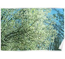 Pear Blossoms! Poster